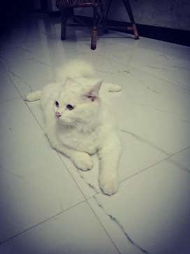6 month old persian male cat fr sale
