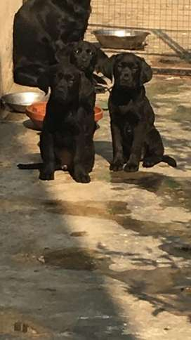Lab 2 female pups