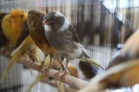 kenari gacor / yorkshire canary / jantan betina / kenari jantan