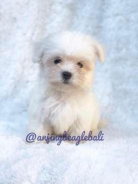 Bayi anjing malteis betina asli no abal abal