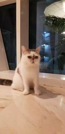 Exotic Shorthair, Peaknose PED