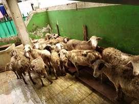 Dijual borongan kambing biri-biri 24 ekor