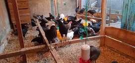 Ayam Kampung Sehat dan berkualitas