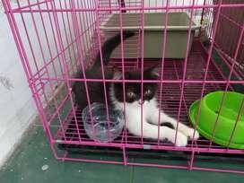 Kucing Persia Jantan 3 Bulan
