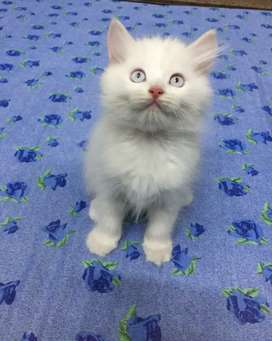 Tripple Coat Persian kitten(Raised,trained@home in healthy environment