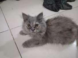 Dijual kucing kitten persia medium umur 4 bulan...