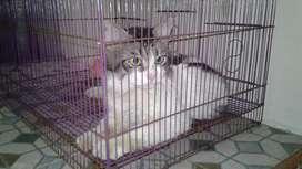 Kucing mix maine coone