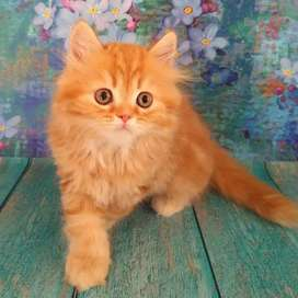 Superb persian kitten for sale