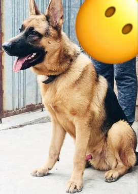 GSD German shepherd (jack)