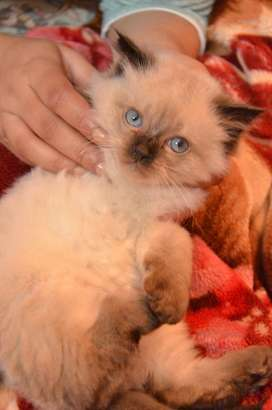 Himalayan kitten-Mix of a Persian and Siamese