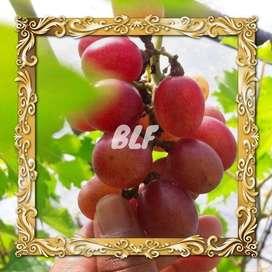 ALAMAT Pohon Anggur Merah Diskon