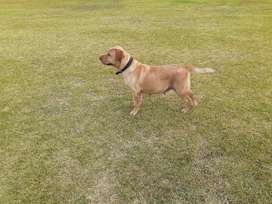 Pure 18 month Labrador Female 30 days mated for sale