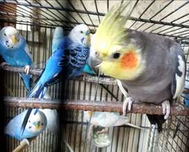 BUDGIES RED EYE GREY COCKTAIL PARROT FOR SALE