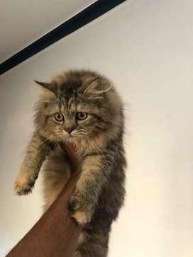 Persian kitten 5 months Old