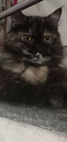 Persian female cat and kittens