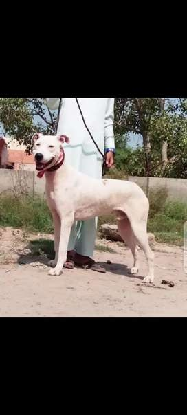 Lapah gultair male for sale 10 month
