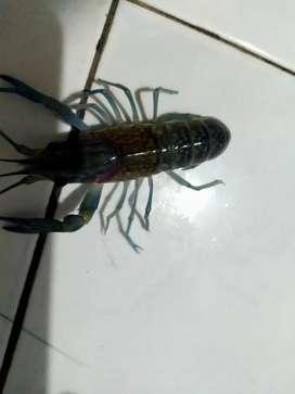 Benih/ bibit lobster air tawar