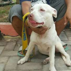 Pitbull white betina