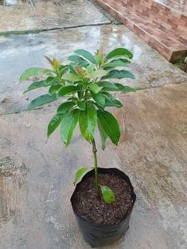 Bibit Pohon alpukat miki