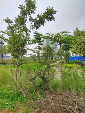 Ketapang kencana tinggi 1 meter ada 5 pohon