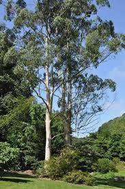 लिप्तिस के बड़े बड़े पेड़  बेचना है।