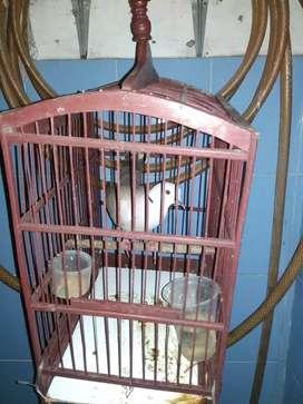 Burung puter gacor suara keras