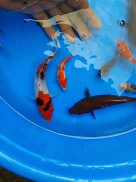 Imported japanes koi for sale