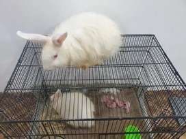 Giant Angora Rabbits White Adult Pair (No Delivery)