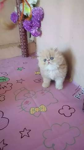 Very nice Persian kitten for sale