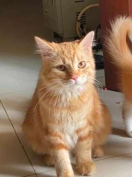 Kucing persia umur 8 bln