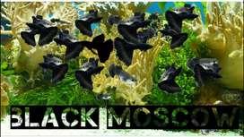 GUPPY BLACK MOSCOW