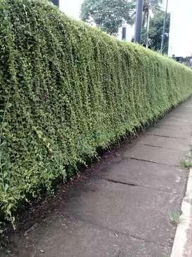 Jual pohon likuwanyu terima penanaman hub WA