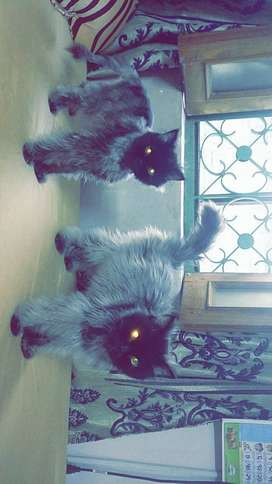 2 Persian cats , Male and Female for sale