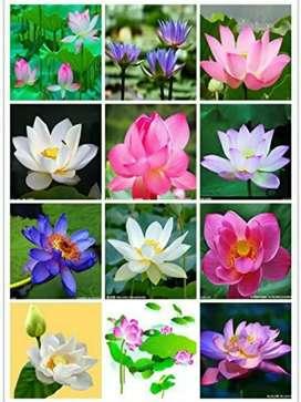 Lotus Flower(kamalgatta) Seeds ( Mixed Varieties 20 Seeds Pack)