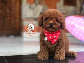 Red Toy Poodle Super Red Stambum