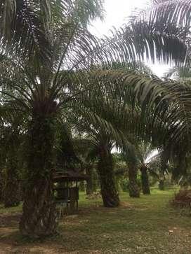 Kebun Sawit dimasuki jalur irigasi