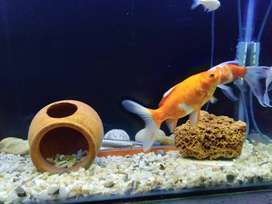 Shubunkin Goldfish and Giant Danio for sale
