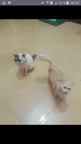 Kucing persia pejantan