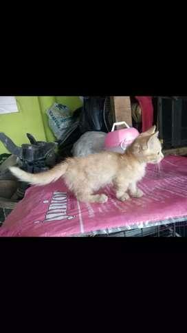 kucing munchkin (kaki cebol)
