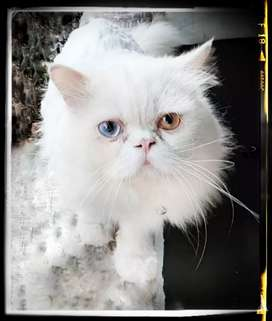 Extrmaleeme punch Persian cat