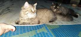 Persian cat,5 months old,grey and black