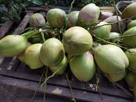 Fresh Green Coconuts for sale at Rs 15 each (Free home delivery)