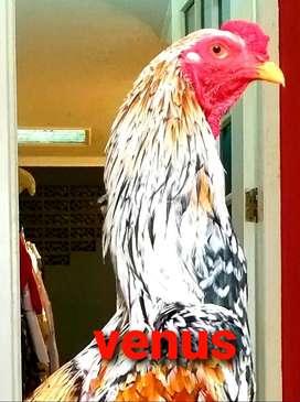 Ayam pamangon sidoarjo uk 4,5 sd 5