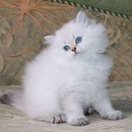 Very active Persian kitten for sale