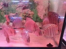 Terlaris Ikan Hias Discus Turquis Bisa Dikirim Keseluruh Indonesia