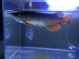 Edisi tank udh kesempitan golden red -/+ 30 cm