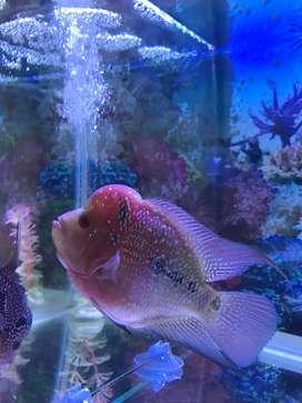 Ikan LOUHAN SRD/kamfa JUAL SANTAI MURAH