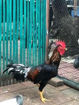 Jual ayam kampung