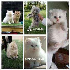 DeCent PeRsian kitten's