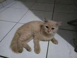 Kucing Anggora Jantan Original